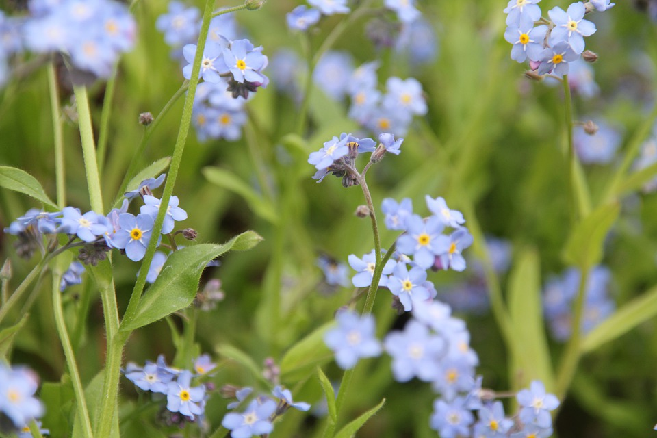 Plant, Nature, Blue, Forget Me Not, Spring, Bloom