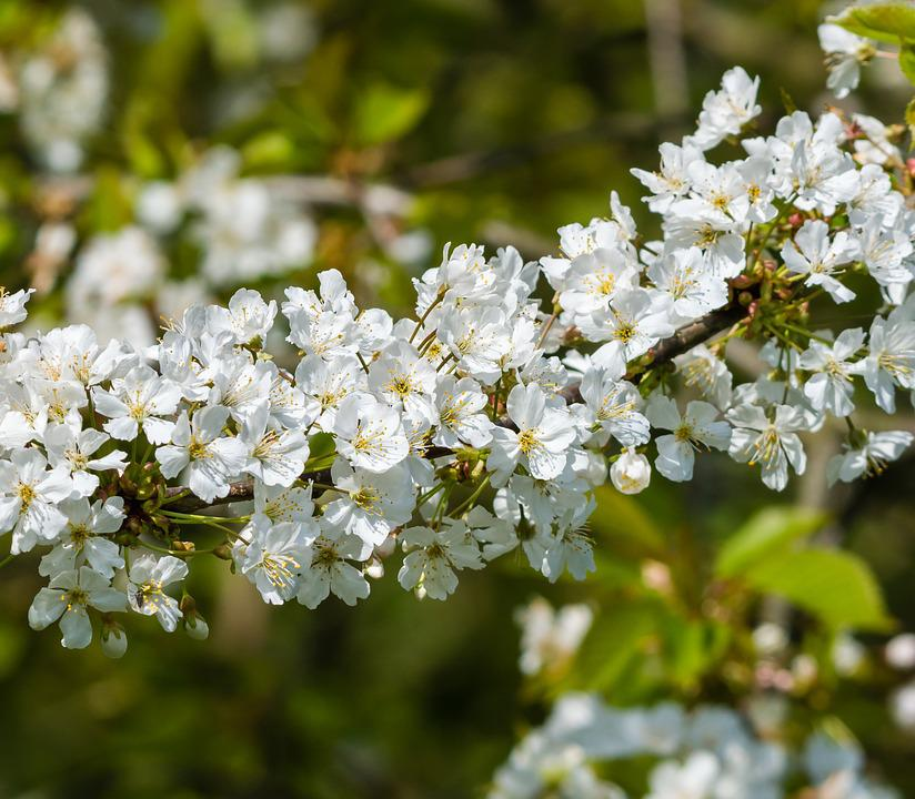 Hawthorn, Flower, Blossom, Plant, Nature, Blooming