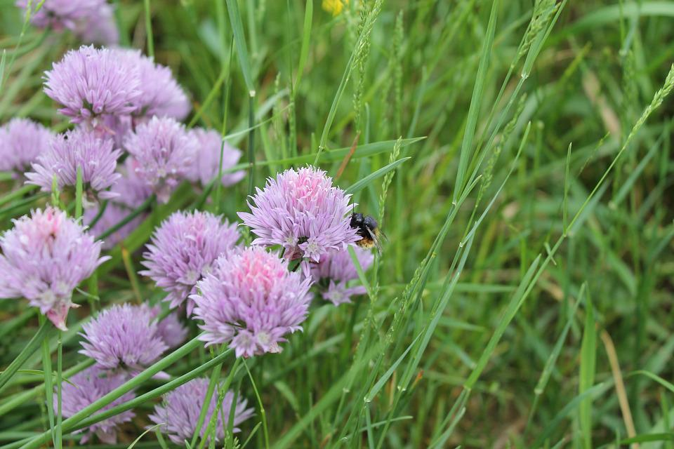 Bumblebee, Flower, Chives, Onion, Plant, Nature, Summer