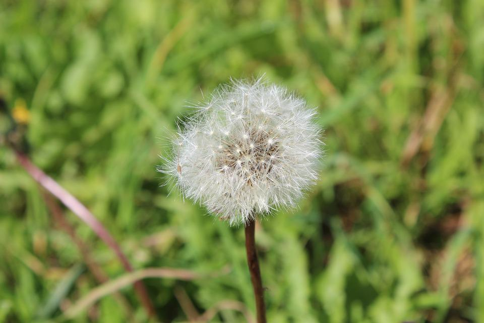 Dandelion, Plant, Flower, Nature, Close Up, Seeds