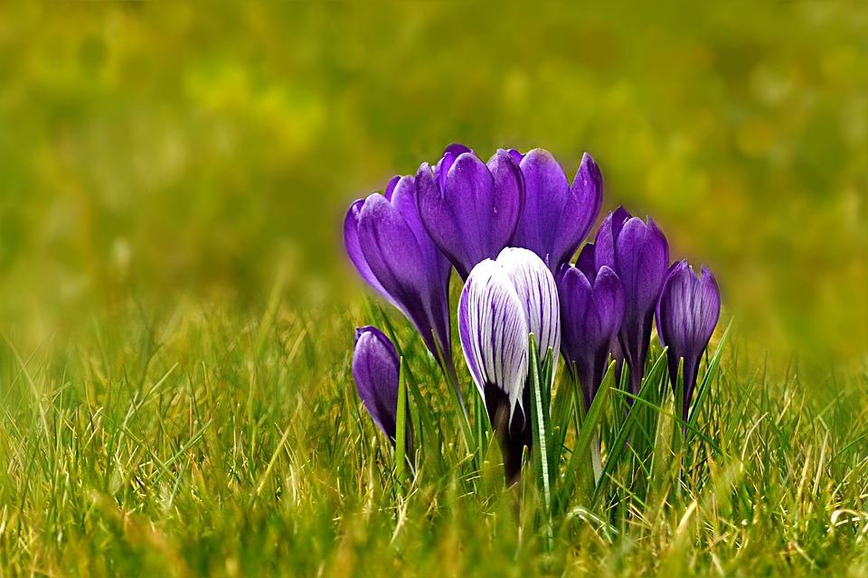 Nature, Plant, Spring Flower, Crocus, Blue, White
