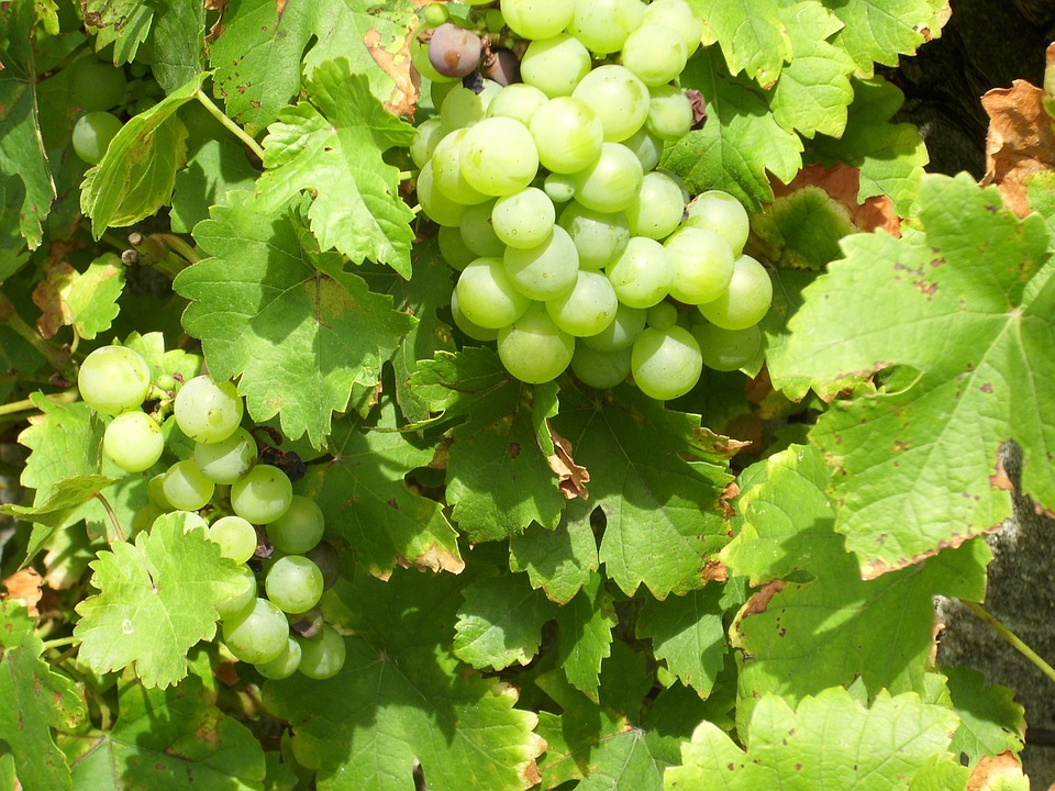 Grapes, Vines, Nature, Plant, Fruits, Delicious, Sweet