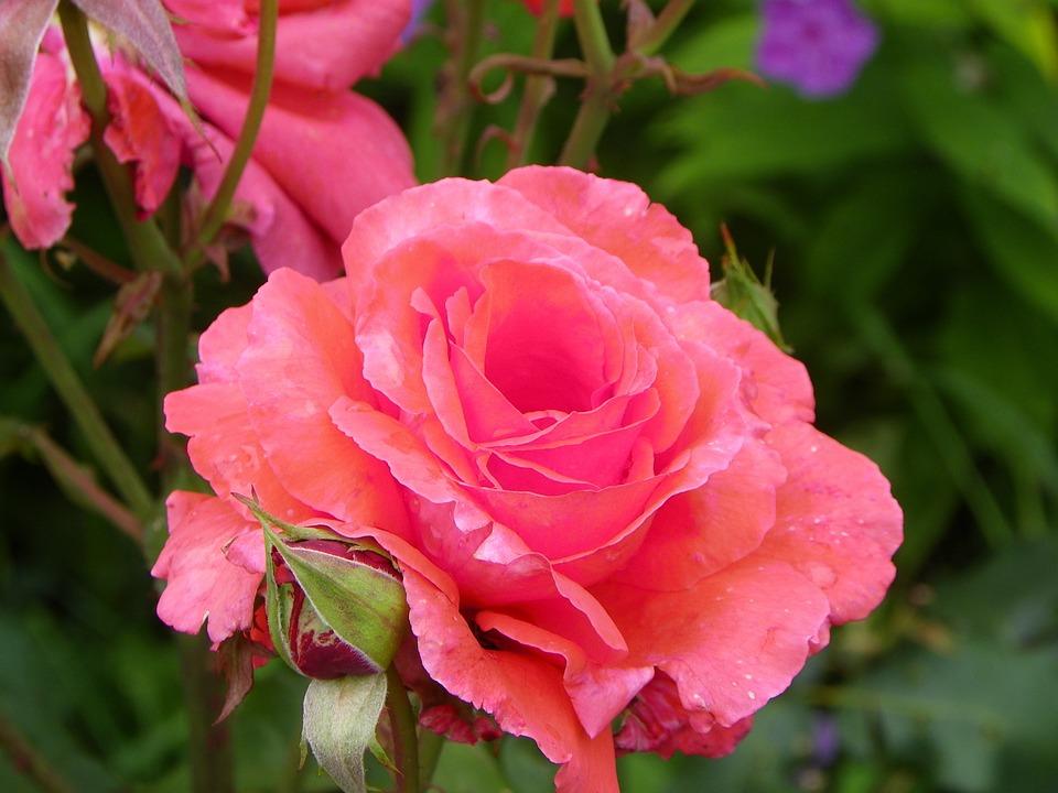 Flower, Plant, Nature