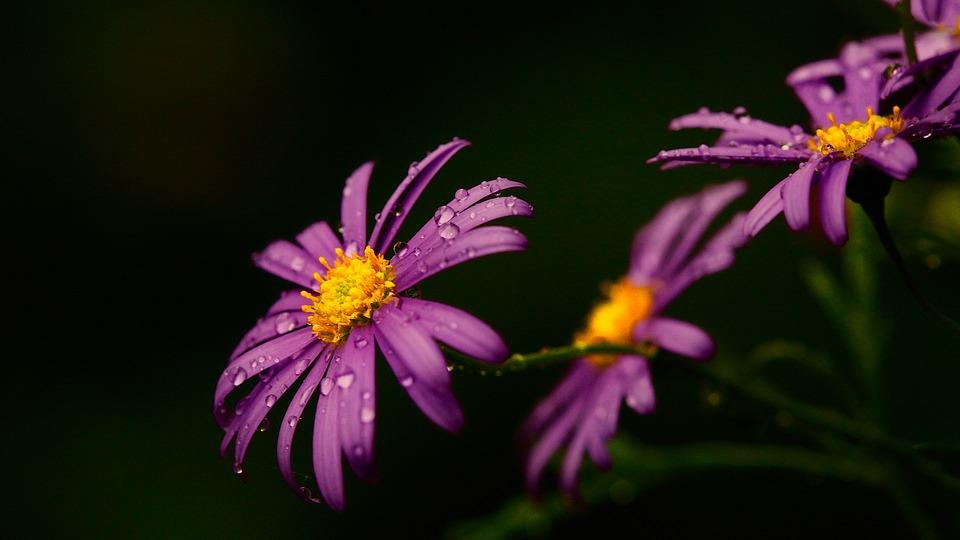 Daisy, Flower, Plant, Macro, Blossom, Bloom, Nature