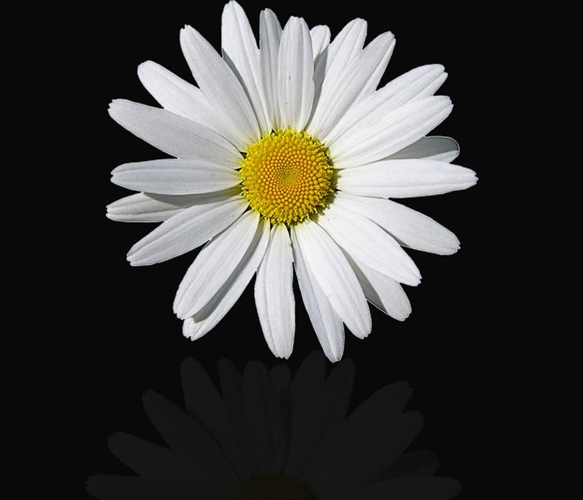 Flower, Nature, Plant, Petal, Summer, Daisy, Flowers