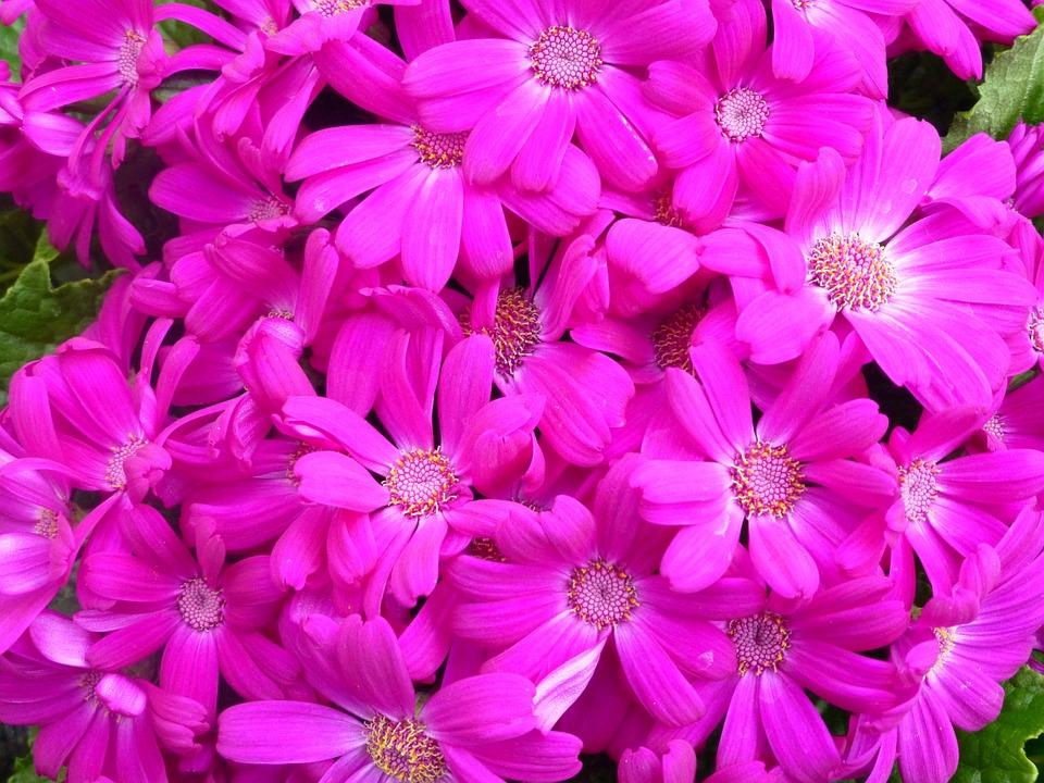 Gerbera, Flowers, Blossom, Bloom, Plant, Nature, Pink
