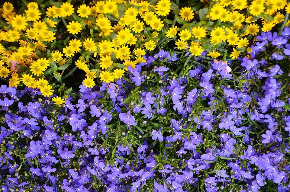 Flowers, Plant, Nature, Blue, Yellow, Flora
