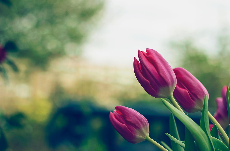 Nature, Red, Field, Flowers, Purple, Garden, Plant