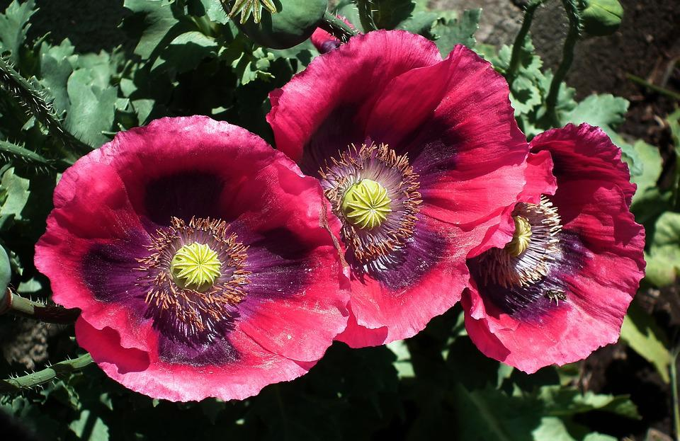 Flower, Poppies Garden, Plant, Nature, Floral, Garden