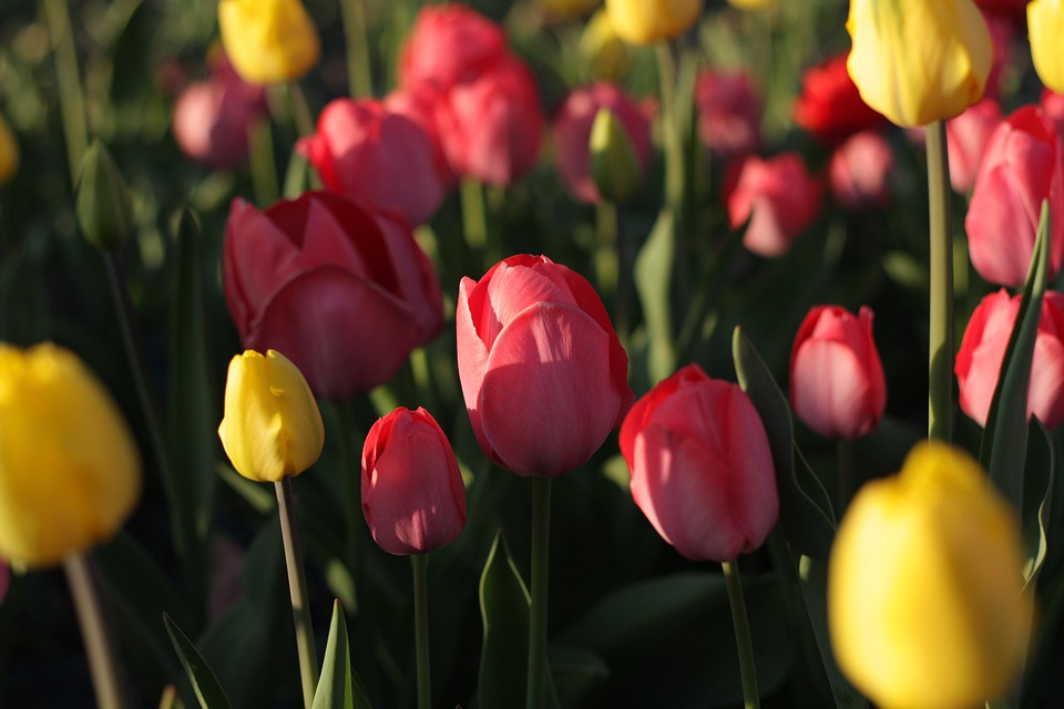 Flowers, Tulips, Spring, Nature, Garden, Pink, Plant