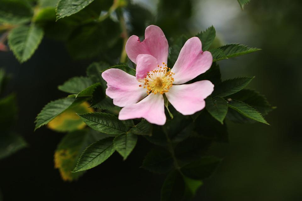 Flower, Pink, Nature, Plant, Floral, Green