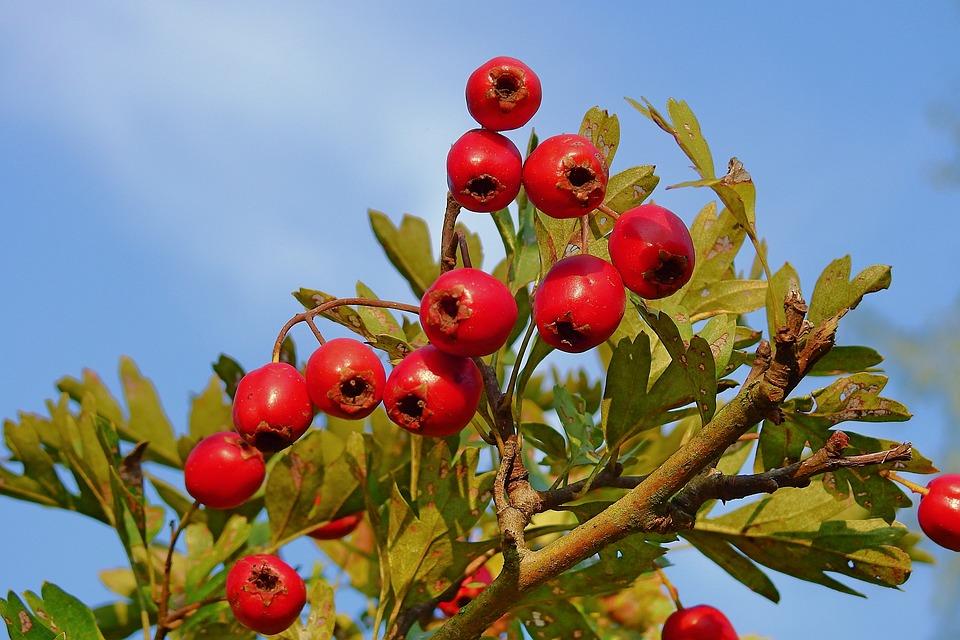 Hawthorn, Plant, Bush, Nature