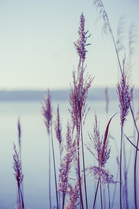 Lake, Nature, Reed, Plant
