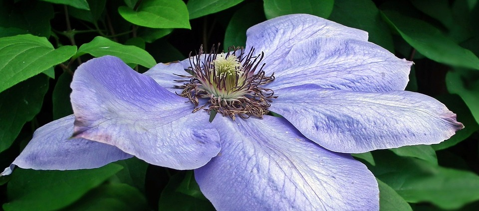 Nature, Flower, Clematis, Blue, Plant, Garden, Leaf
