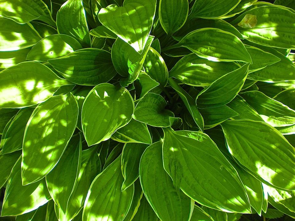 Leaf, Green, Garden, Nature, Plant, Summer