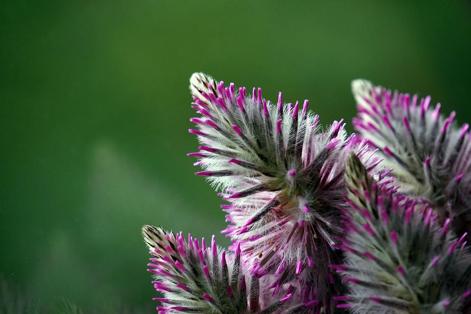 Fluffy, Plant, Flower, Purple, Nature, Pink Flower