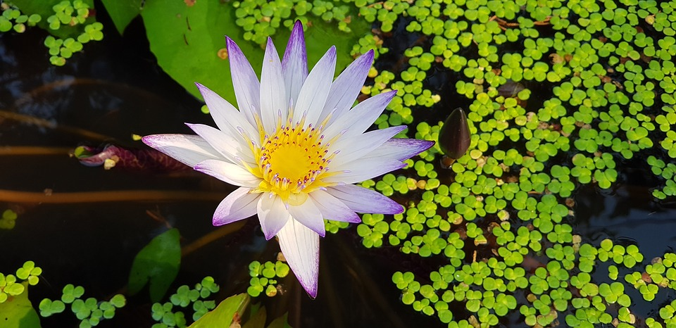Nymphaea Alba, Nature, Plant, Morning, Purple