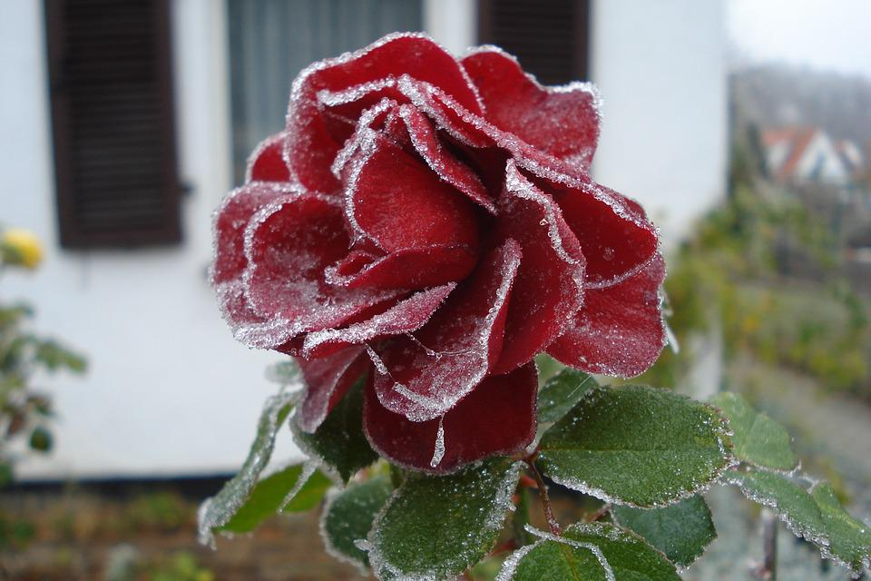 Nature, Flower, Plant, Rose, Red, Frost, Frozen