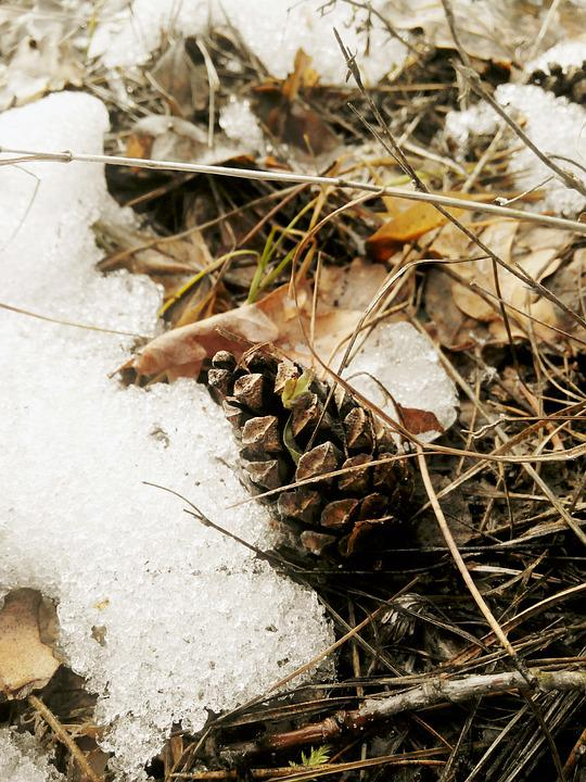 Pine Cone, Forest, Sheet, Nature, Cones, Plant, Brown