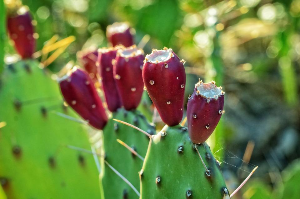 Cactus Fruit, Cactus Plant, Nature, Plant, Spikes