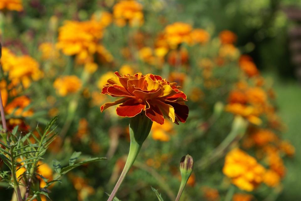 Flower, Closeup, Plant, Nature, Summer