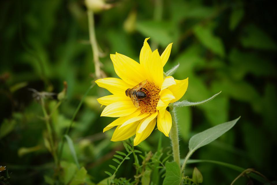 Bee, Bug, Sunflower, Plant, Nature