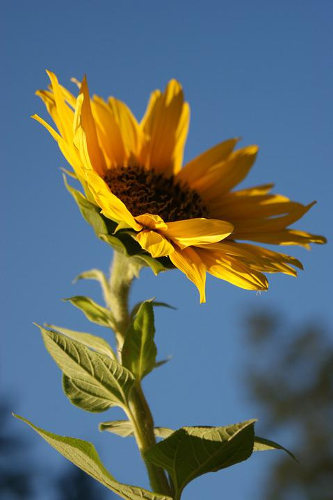 Sunflower, Yellow, Flower, Plant, Summer, Nature