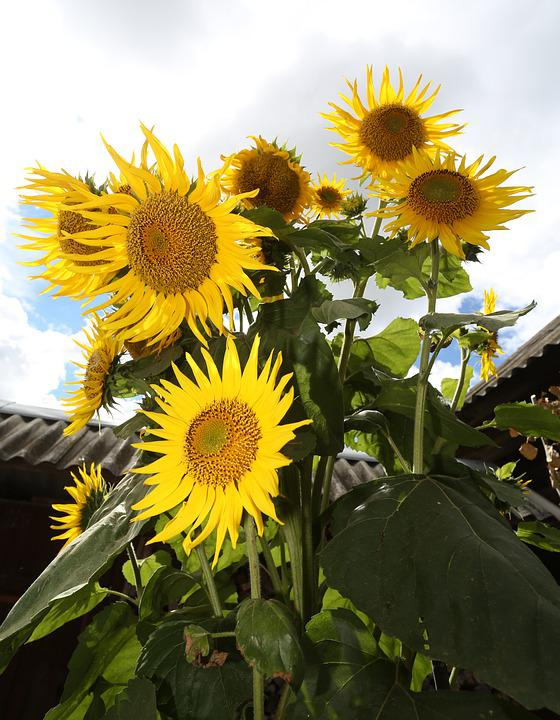 Sunflower, Plant, Nature, Garden Flower, Yellow