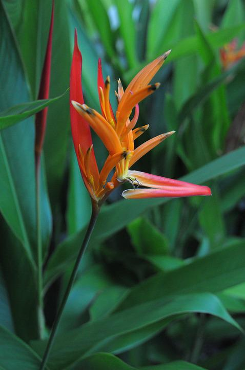 Flower, Tropical Flower, Tropical, Nature, Plant