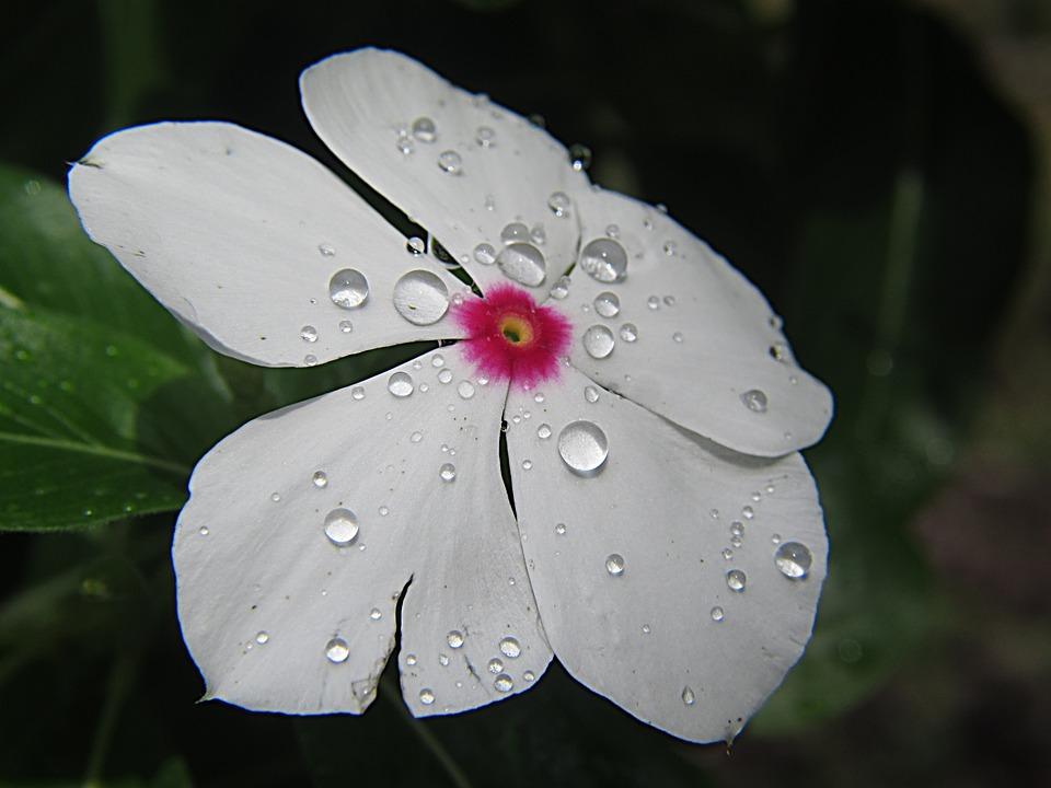 Flower, Nature, Droplets, Plant, Floral, Bloom, White