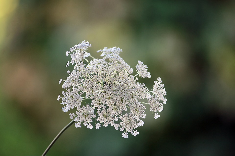 Nature, Plant, Wild Carrot