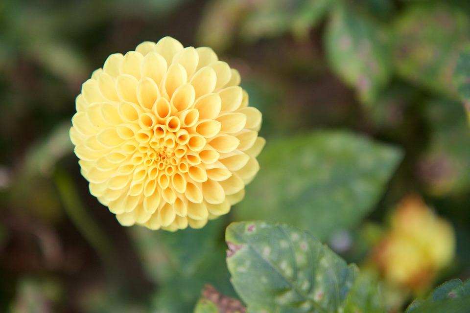 Nature, Plant, Flower, Yellow, Dahlia