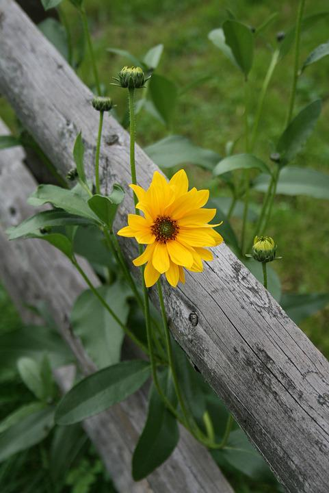 Yellow Flower, Field, Fence, Green, Nature, Plant