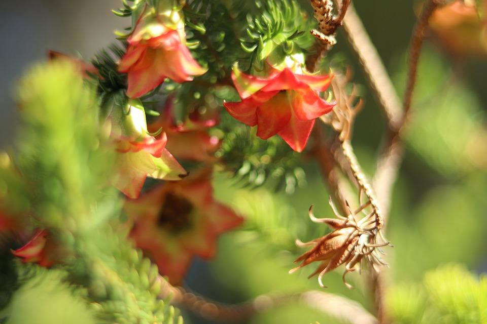 Flower, Australian, Nectar, Cultivar, Plant, Biology