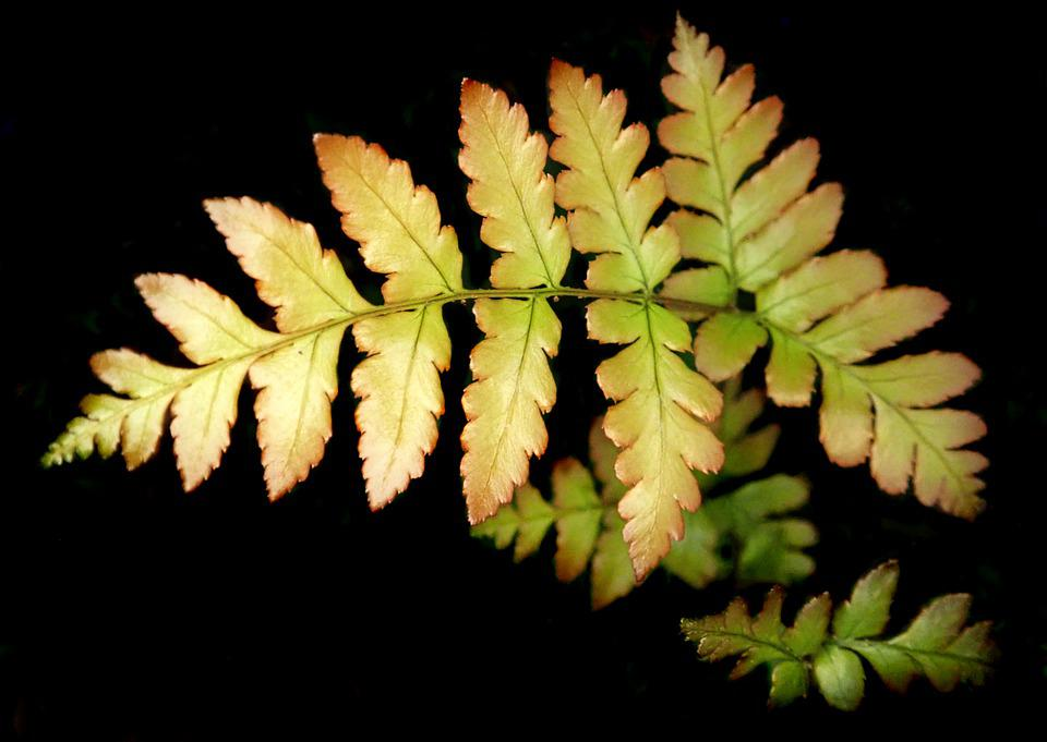 Fern, Leaf, New Growth, Plant, Garden, Nature, Foliage