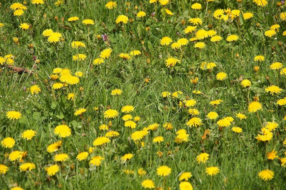 Flowers, Plant, Medicinal Products, Nuns, Dandelion