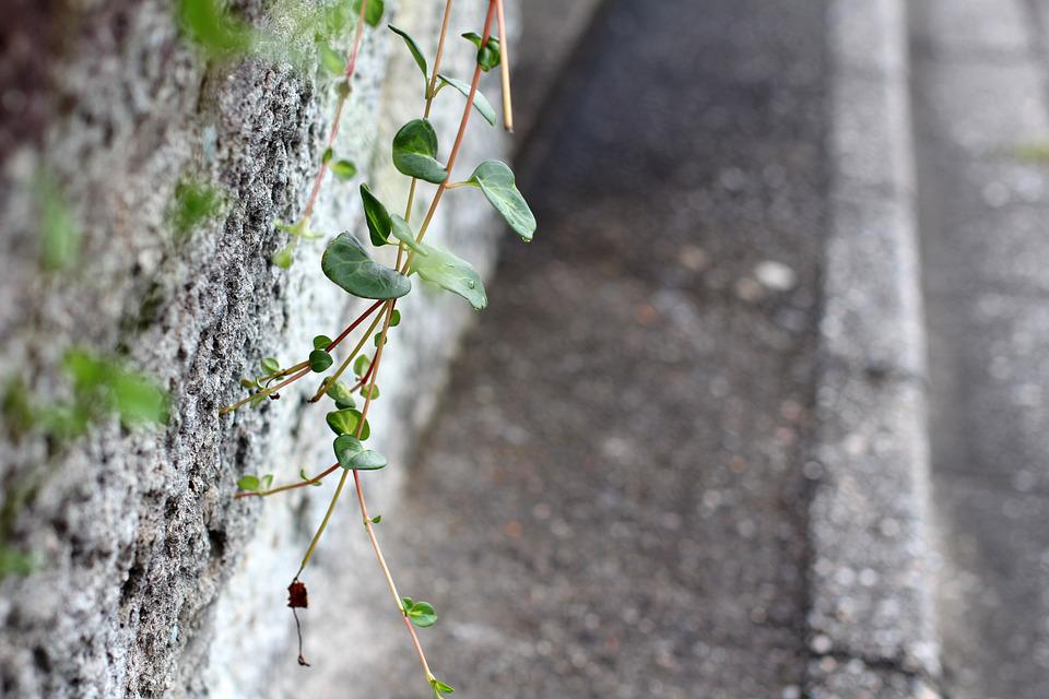 Wall, Cement, Old Wall, Sidewalk, Plant, Creeper