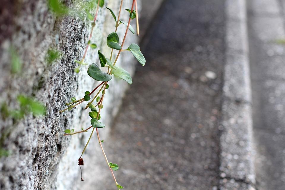 Wall, Cement, Old Wall, Sidewalk, Plant, Creeper