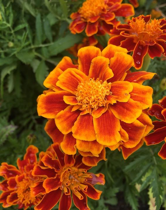 Carnation Flowers, Orange, Red, Plant, Garden, Blossom