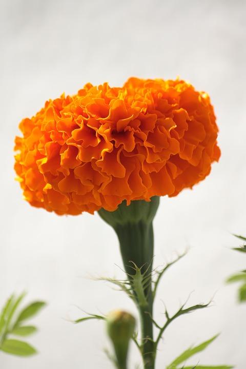 Flower, Marigold, Gardening, Orange, Plant, Nature