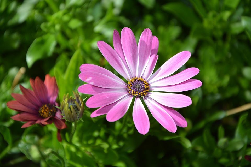 Flower, Plant Osteospernum Pink, Nature, Garden, Summer