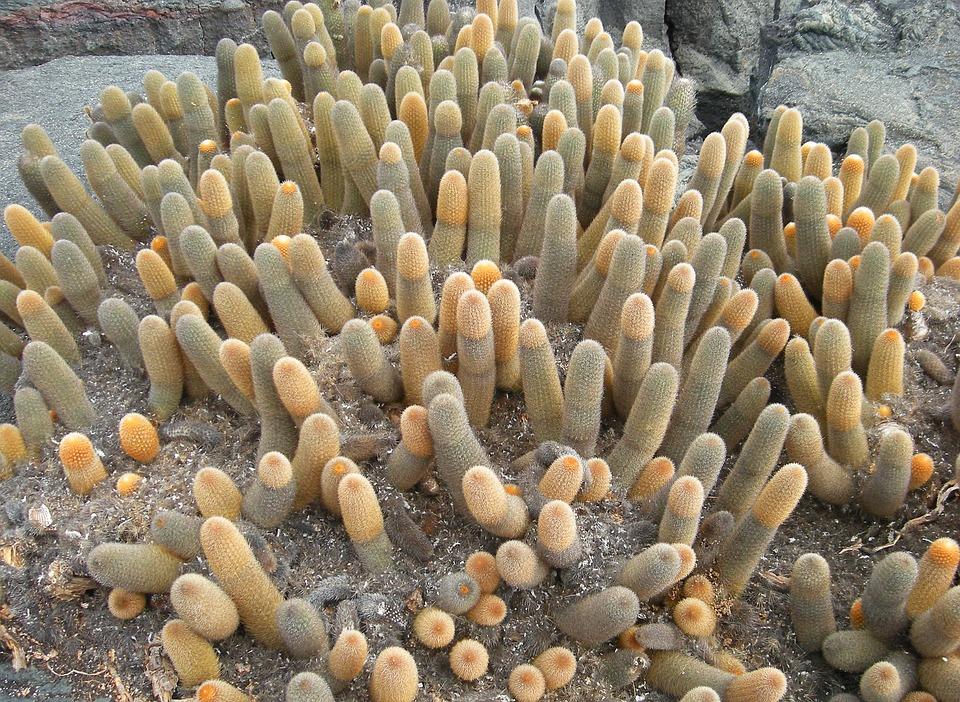 Cactus, Plant, Galapagos, Island, Pacific, Ecuador