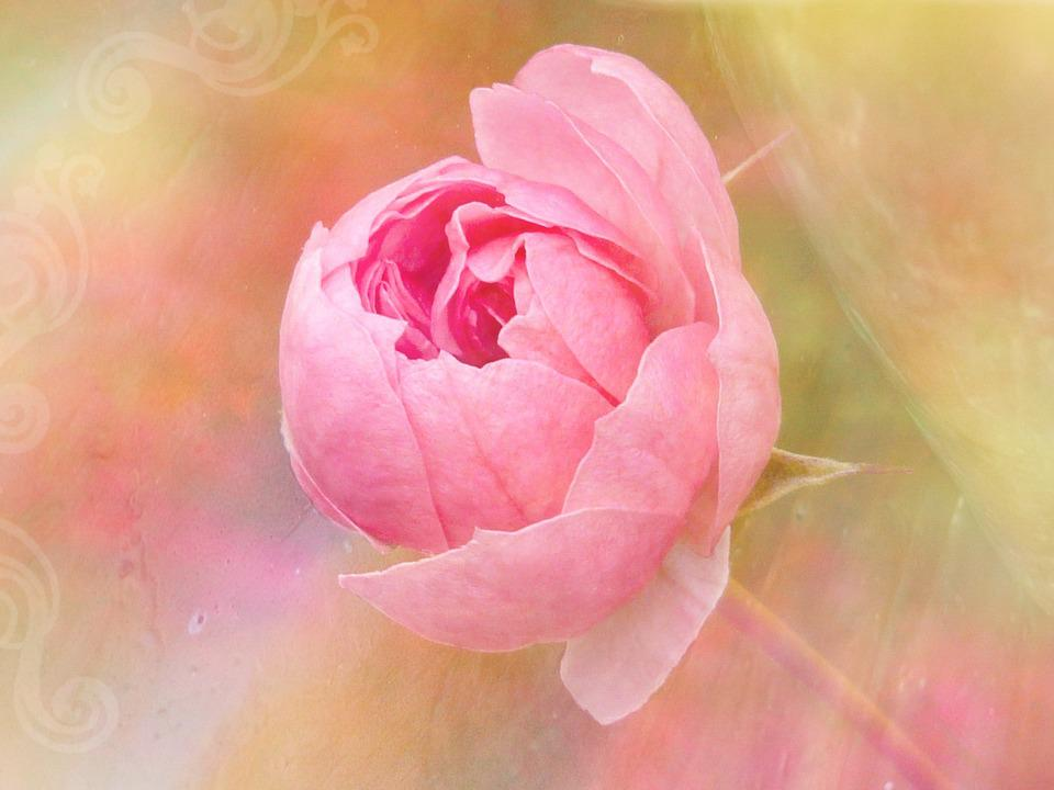 Painting, Rose, Flower, Blossom, Bloom, Pink, Plant