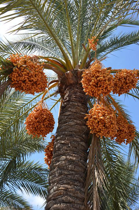 Palm, Palm Fruits, Plant, Frond