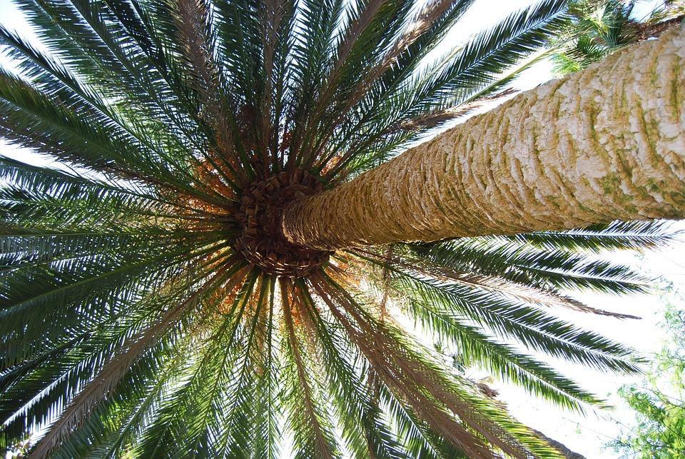 Palm, Palm Fronds, Plant, Nature