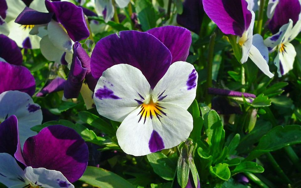 Flower, Pansy, Garden, Plant, Nature, Leaf