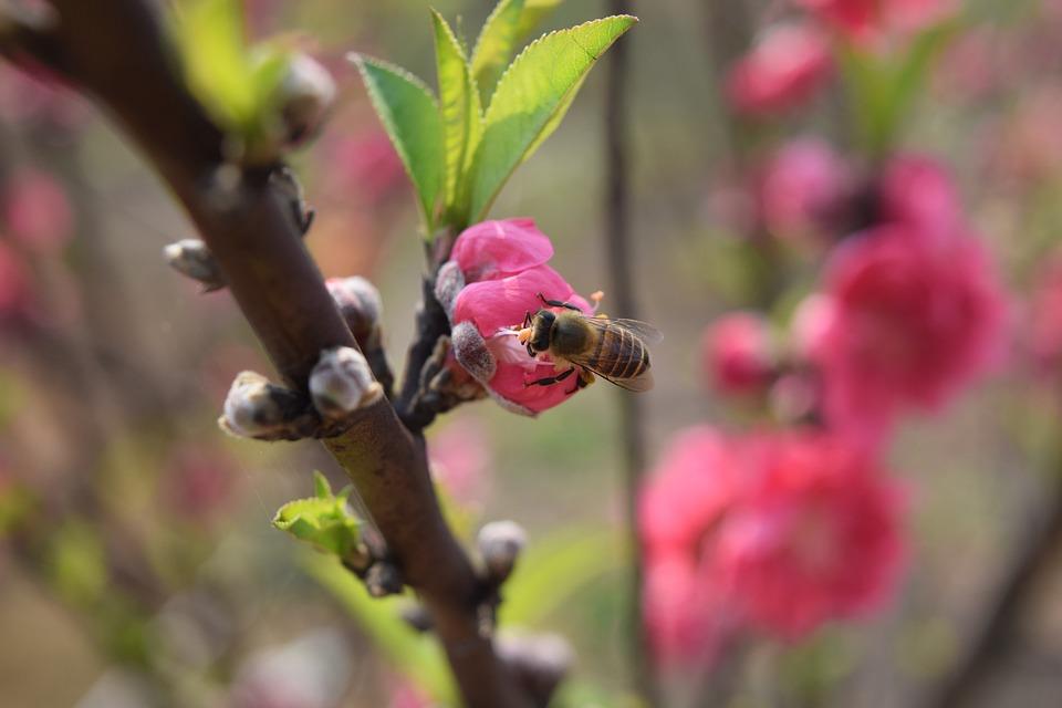 Peach Blossom, Plant, Bee