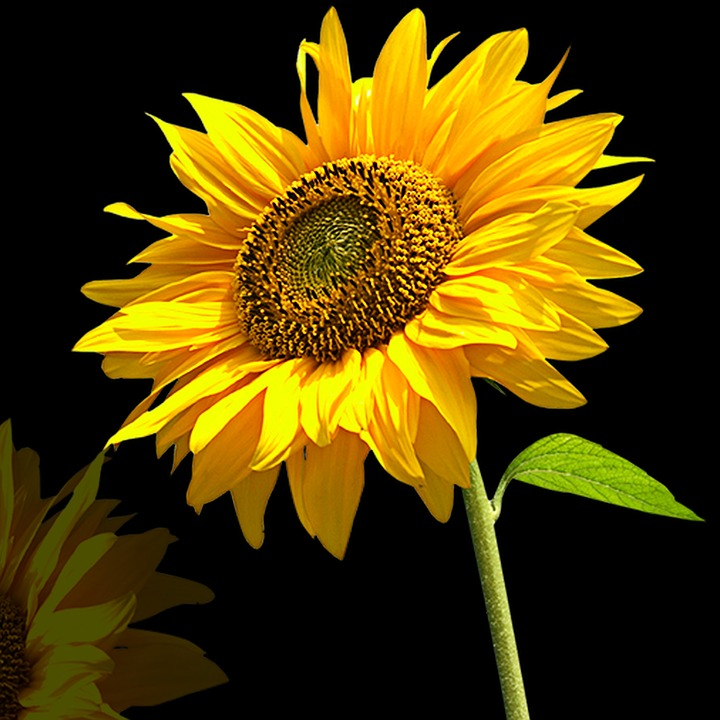 Nature, Flower, Plant, Petal, Sunflower