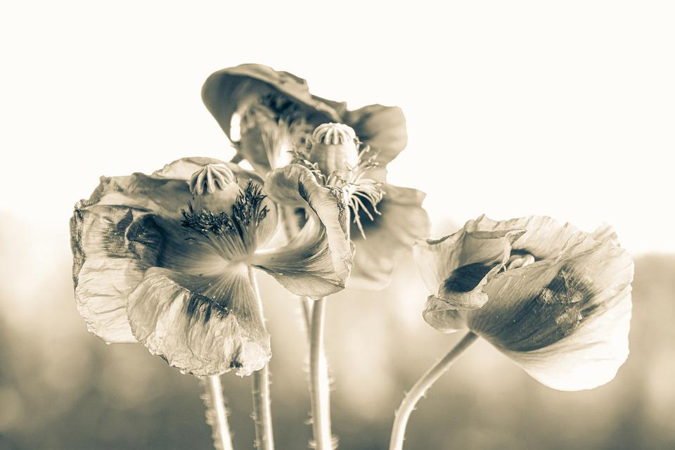 Poppy, Flowers, Plant, Petals, Corn Poppy