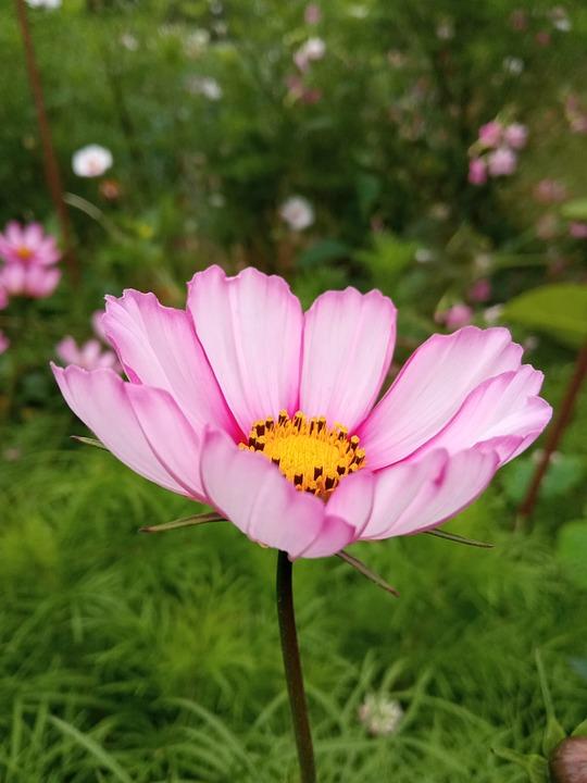 Cosmos, Flower, Plant, Pink Flower, Petals, Bloom